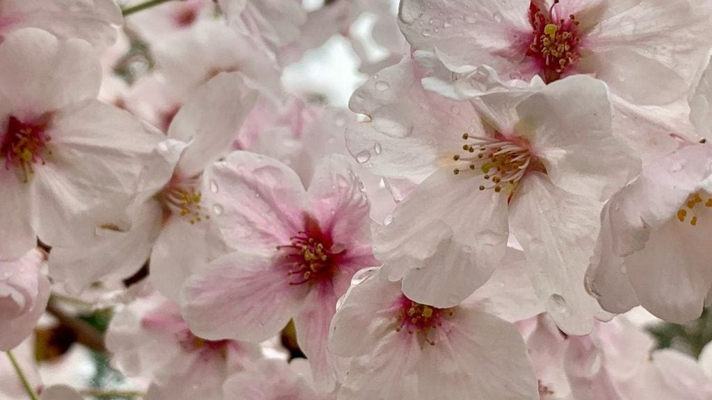 cherry blossoms seattle unity newsletter